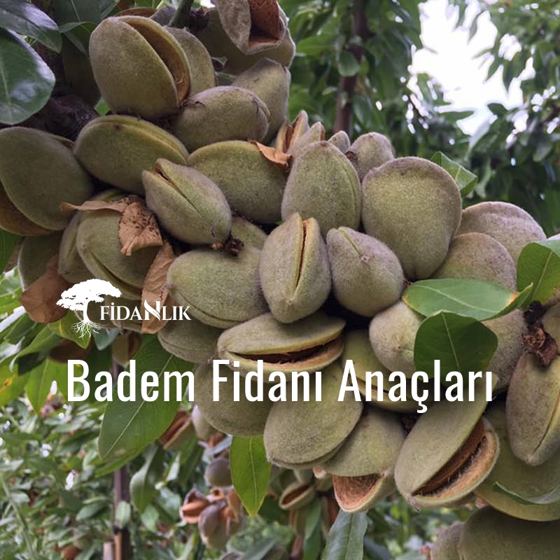 Badem Fidanı Anaçları