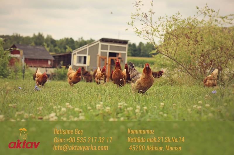 Gezen Tavuk Satışı